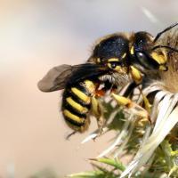 Wollbiene sammelt Pflanzenhaaren von einer Distel um ihr Nest auszustatten