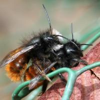 Paarung von Gehörnte Mauerbienen bei einer Nisthilfe, Männchen mit weissem Bart