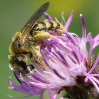 Braunfilzige Furchenbiene sammelt Pollen auf einer Flockenblume