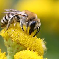 Rainfarn Seidenbiene beim Polen sammeln einer Rainfarnblüte