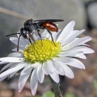 Wespenbiene auf Kamilleblüte
