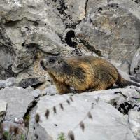 Alpenmurmeltier auf Fels