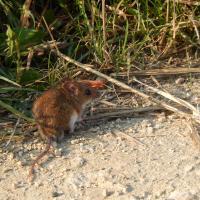 Eine Maus sitzt auf einem erdigen Feldweg neben hohem Gras