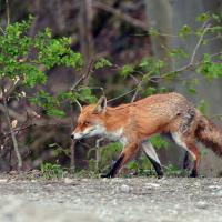 Fuchs läuft über eine Strasse
