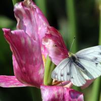 Grünaderweissling auf Blume