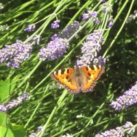 Kleiner Fuchs auf Lavendel