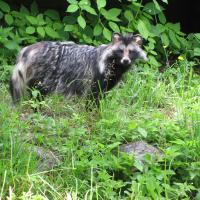 Marderhund steht in der Vegetation