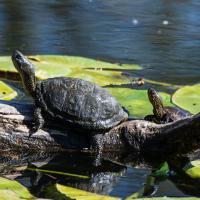 Europäische Sumpfschildkröte auf einem Ast
