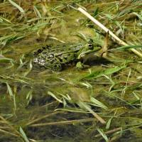 Teichfrosch auf der Vegetation in einem Teich