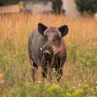 Wildschwein in Abendlicht auf Blumenwiese